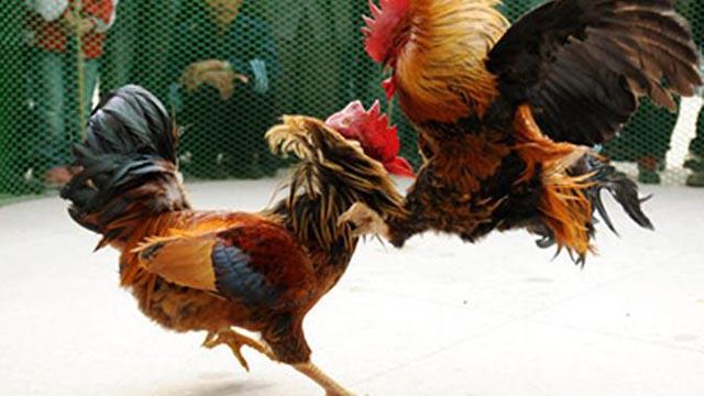 Situs Game Sabung Ayam Secara Online