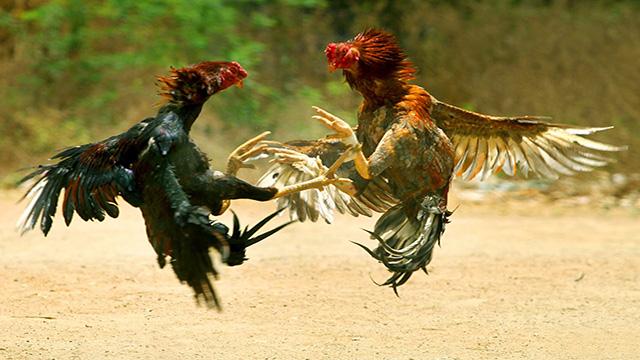 Taruhan Adu Ayam Sabung S128 Online